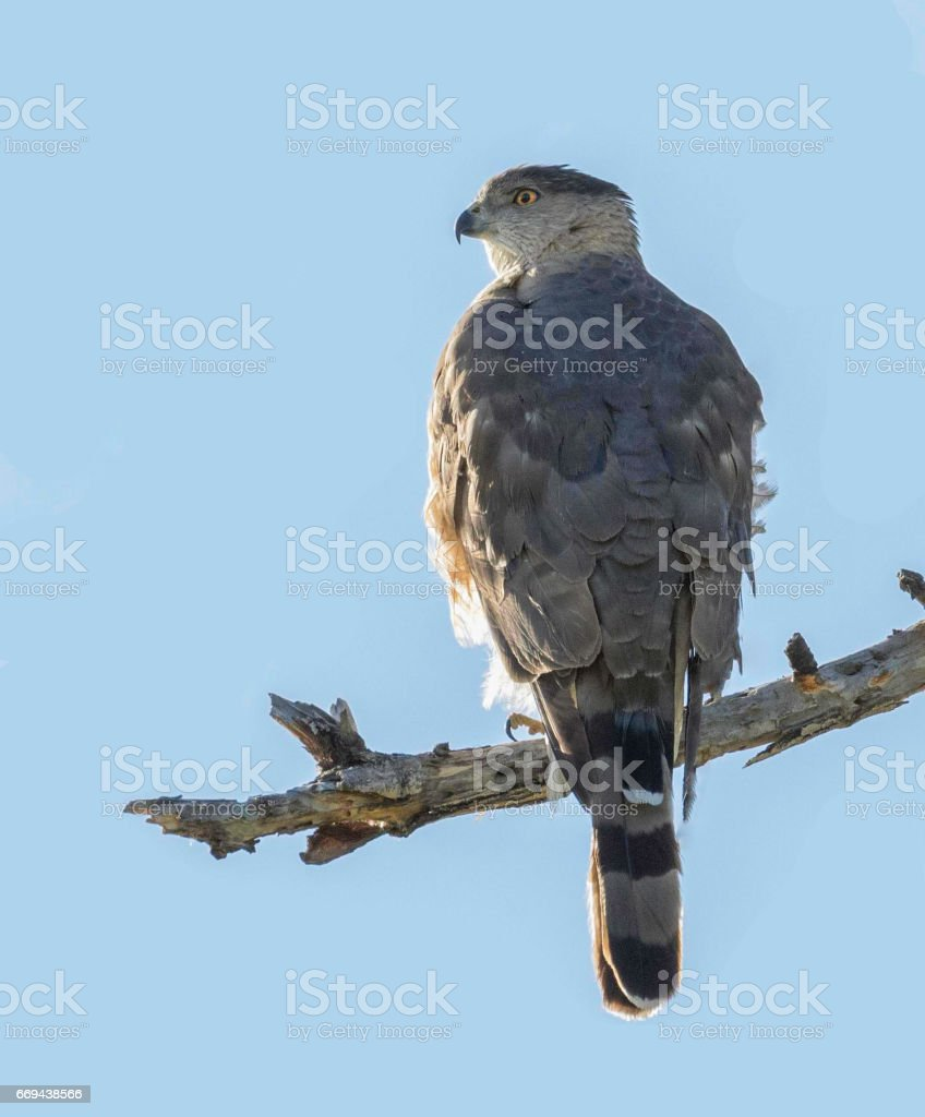 Cooper's Hawk stock photo