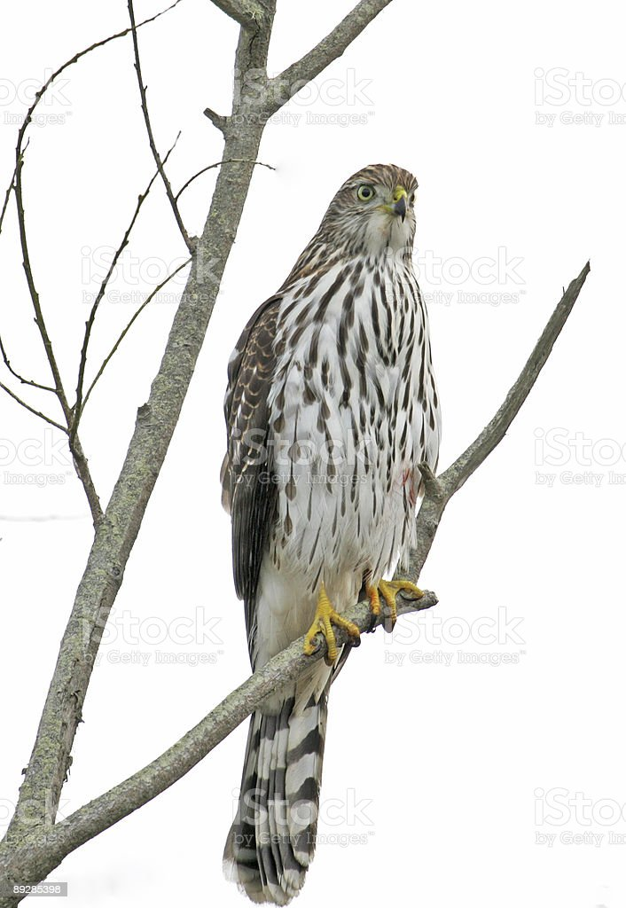 Cooper's Hawk royalty-free stock photo