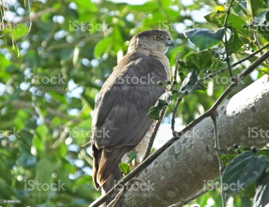Cooper's Hawk (Accipiter cooperii) stock photo