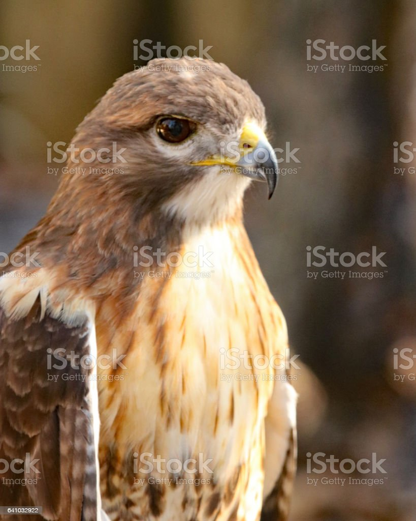 Cooper's hawk profile stock photo