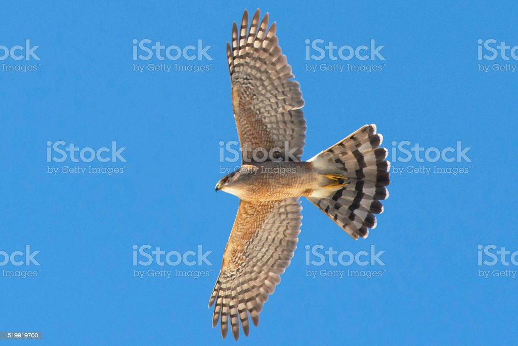 Cooper's Hawk Soaring stock photo