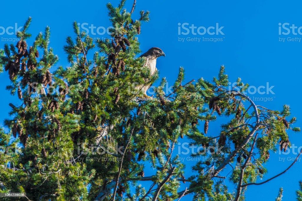 Coop's Hawk stock photo