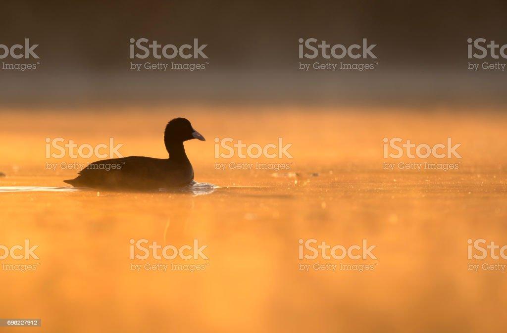 Coot (Fulica) at sunrise stock photo