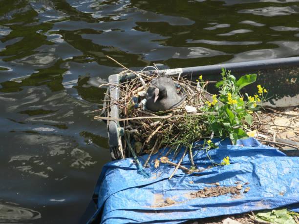 coot fokken op een nest gemaakt op een boot in een kanaal in Amsterdam foto