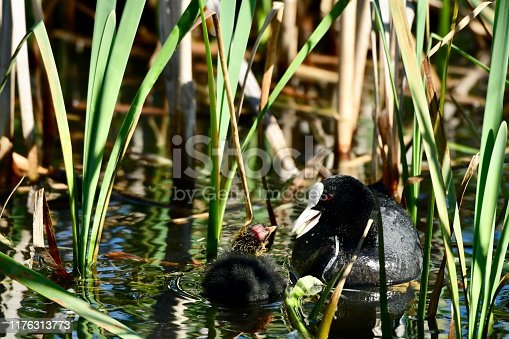 the female coot feeding the youngest cute and ugly bird