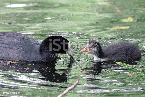 istock Coot mother teaches her young what to eat in the water, Stadspark, Amsterdam north, Baanakkerspark, Netherlands, nature photo 1257770062