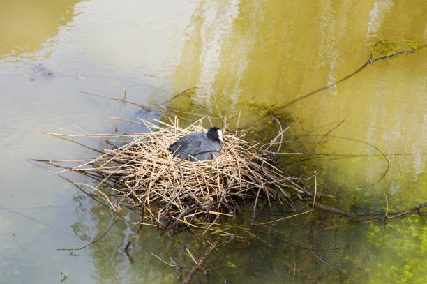 Coot on nest Eurasian coot on nest in water coot stock pictures, royalty-free photos & images