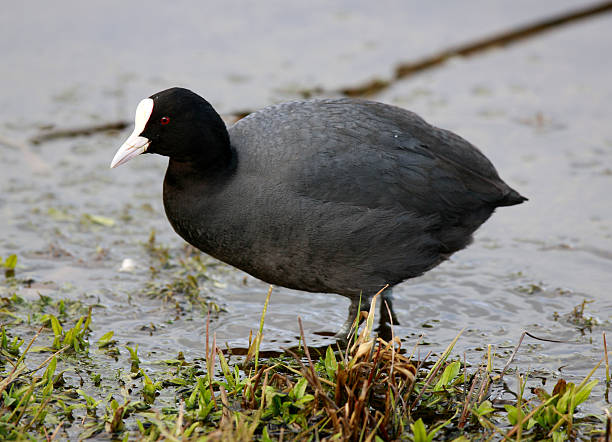 Coot (Fulica atra)  coot stock pictures, royalty-free photos & images