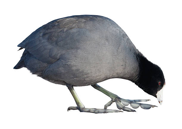 Coot American Coot (Fulica americana) on a white background coot stock pictures, royalty-free photos & images