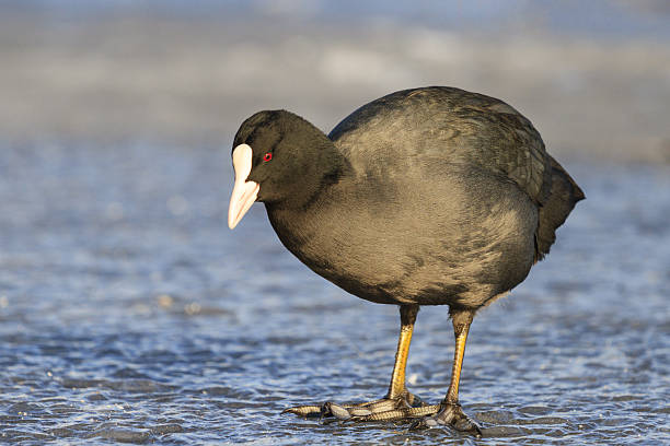 Coot standing on a transparent ice of the frozen lake Coot standing on a transparent ice of the frozen lake,wintering birds, birds in the city, man and nature,Fulica atra coot stock pictures, royalty-free photos & images