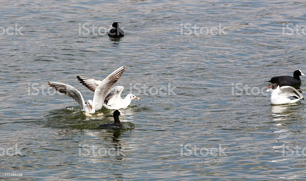 Coots and Gulls royalty-free stock photo