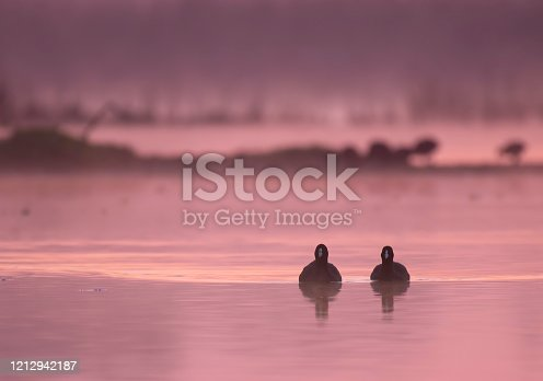 Coots in morning