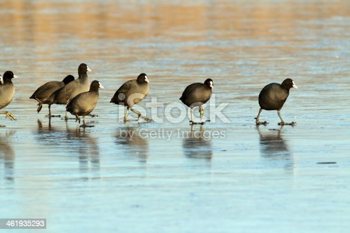 istock coots walking with care on frozen surface 461935293