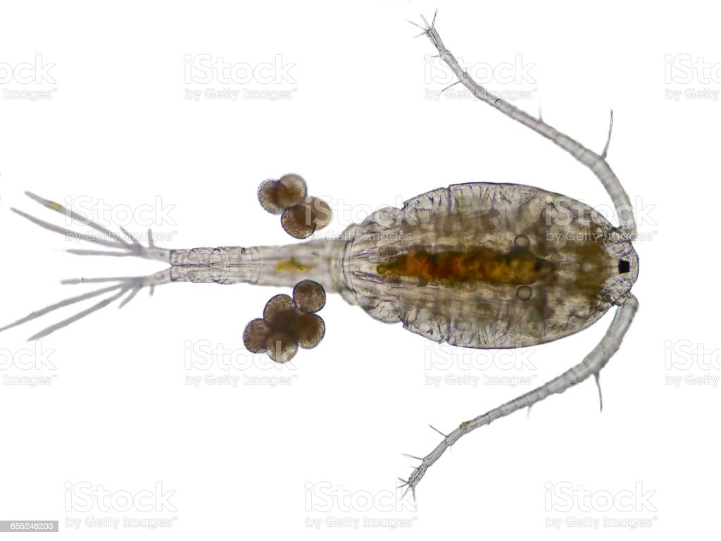 Copepod (Zooplankton) are a group of small crustaceans stock photo