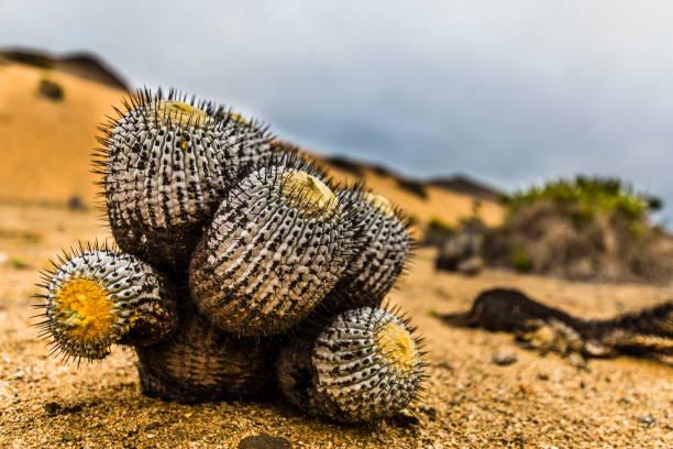 A Copiapoa Cactus inside Pan de Azucar National Park at Atacama Desert, Chile stock photo