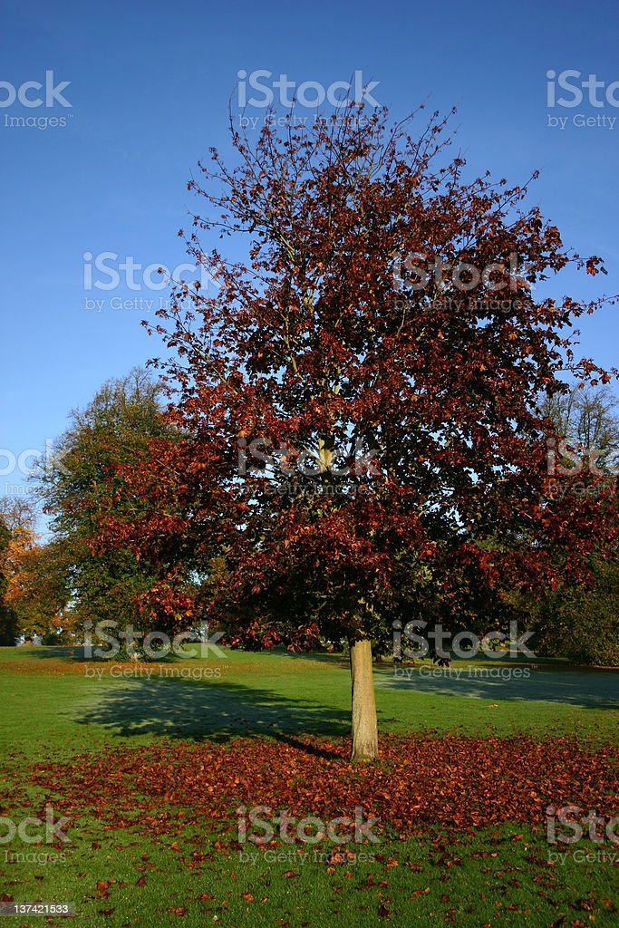 Copper beech tree dropping its leaves royalty-free stock photo