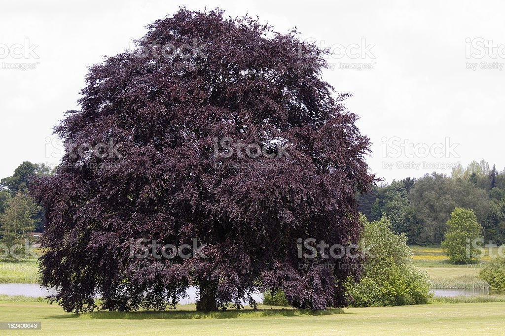 Copper Beech Tree stock photo