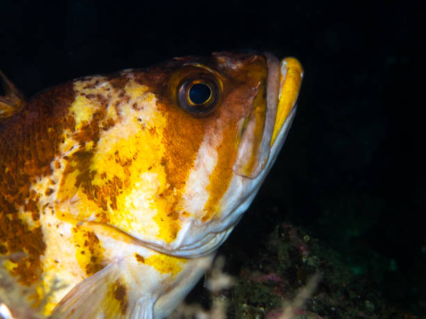 Copper Rockfish (Sebastes caurinus) stock photo