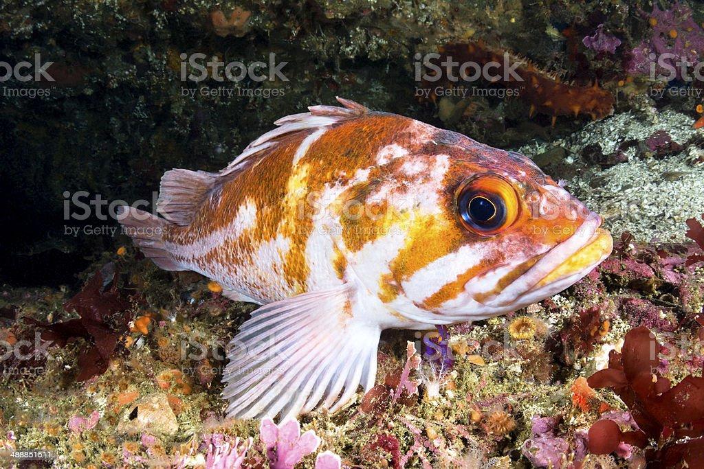 Copper rockfish stock photo