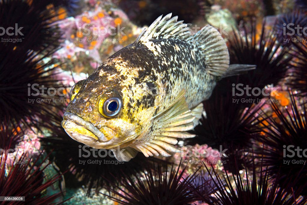 Copper rockfish resting on sea urchins stock photo