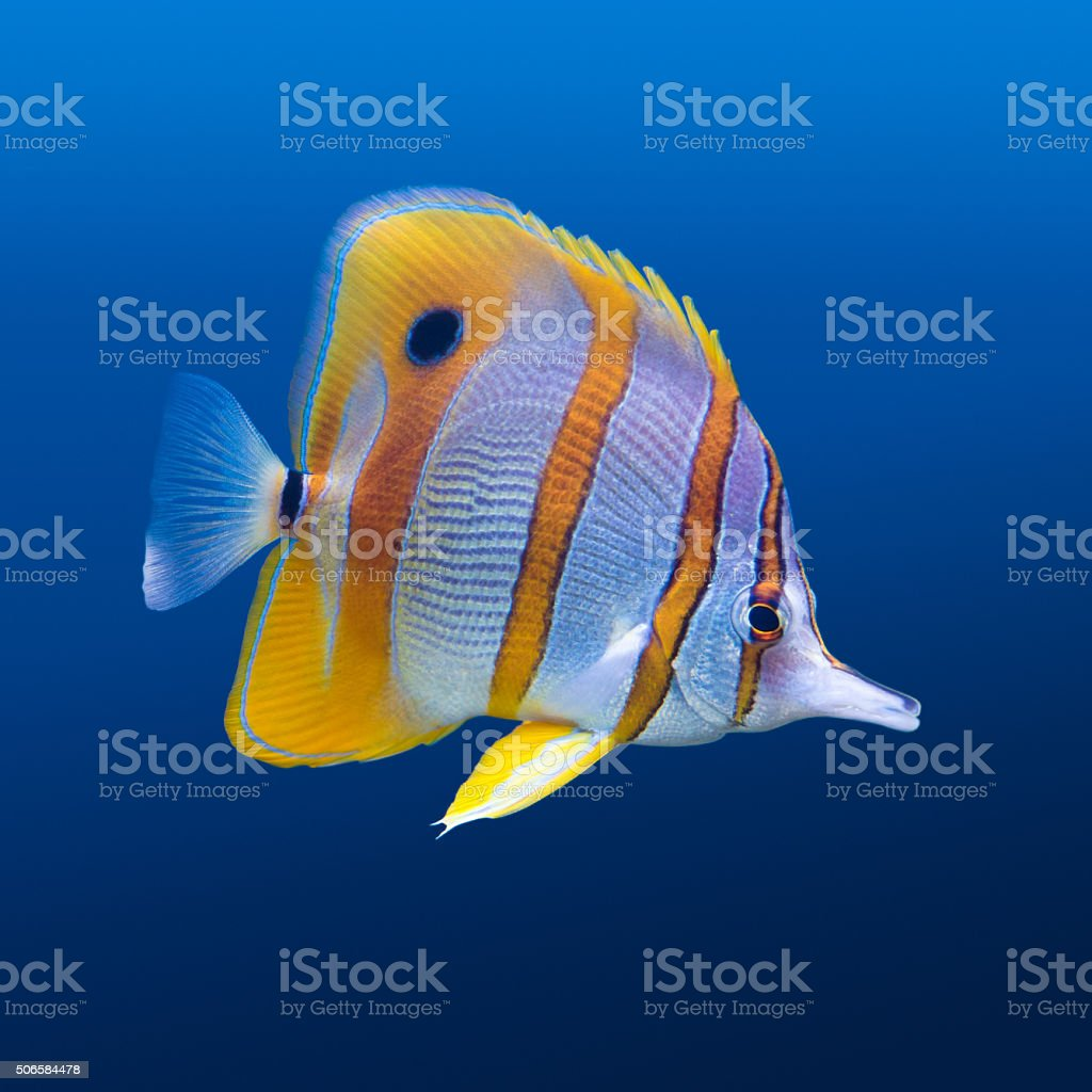 Copperband butterfly fish stock photo