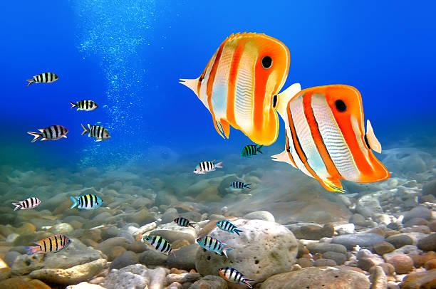 Copperband butterflyfish Copperband butterflyfish (Chelmon rostratus) nemo museum stock pictures, royalty-free photos & images