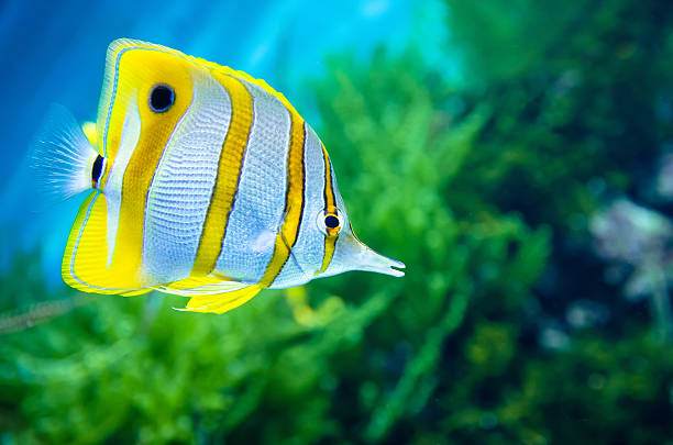 Copperband butterflyfish (Chelmon rostratus) stock photo