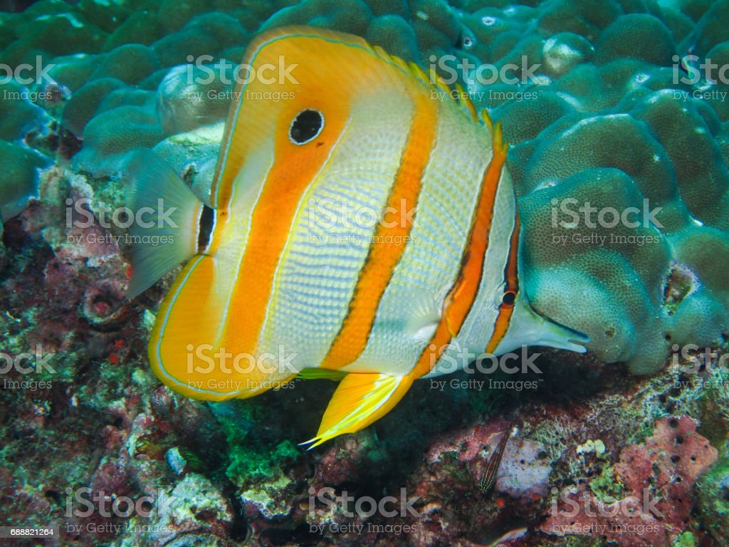 Copperbanded Butterflyfish in the coral reef stock photo