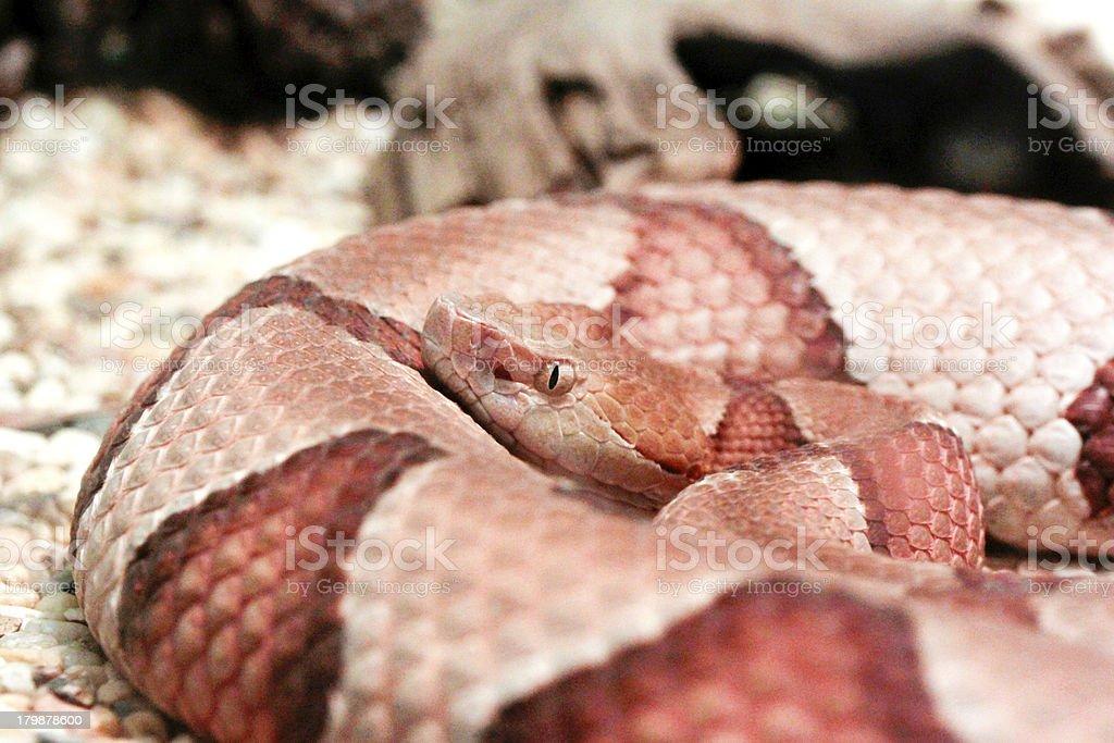 Copperhead in Coil stock photo