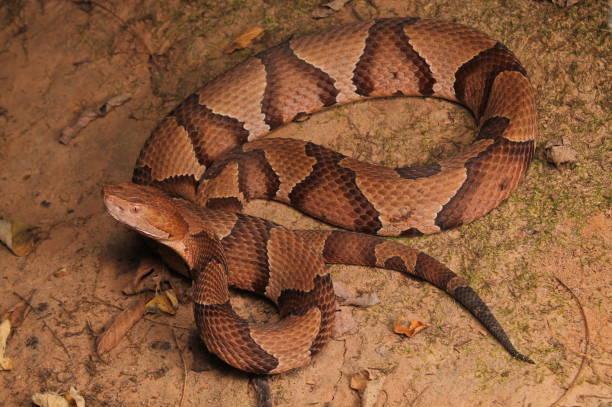 serpent mocassin - serpent photos et images de collection