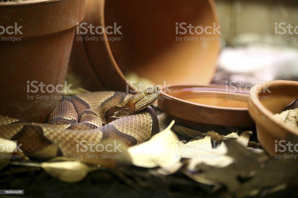 Copperhead stock photo