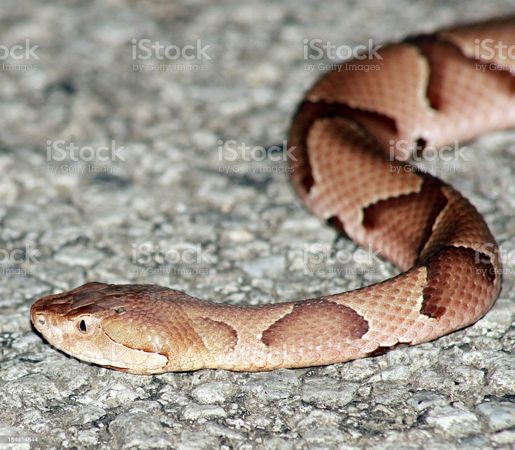 Copperhead stock photo