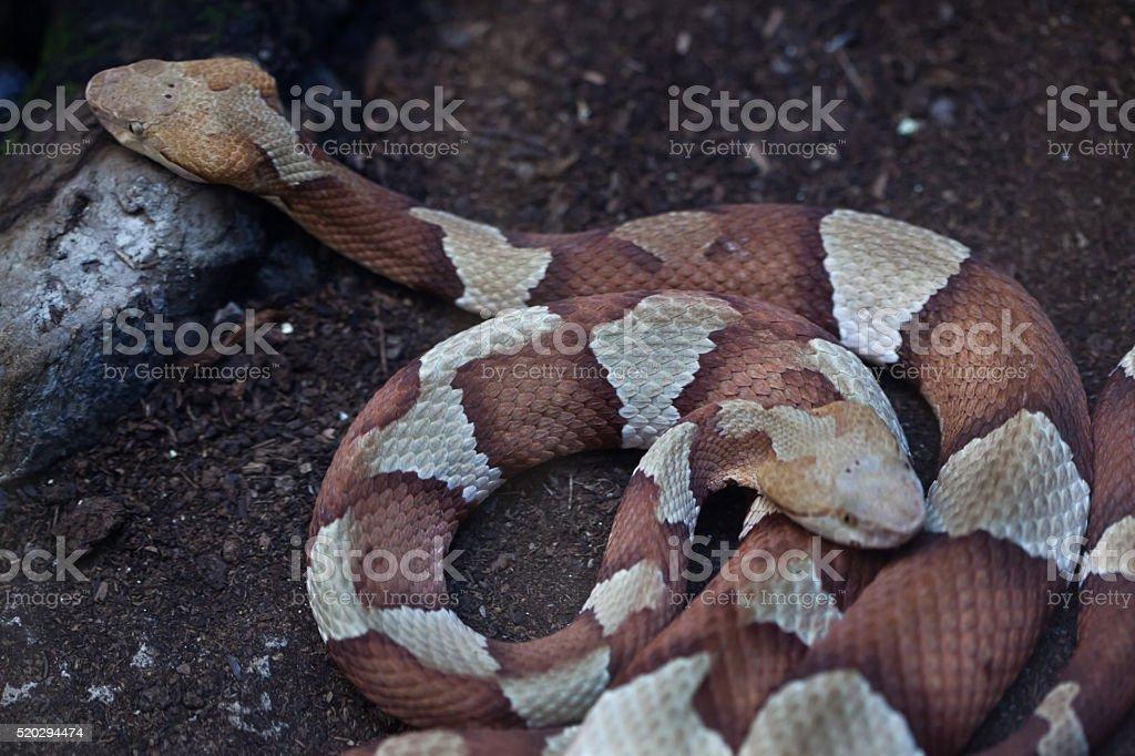 Copperhead (Agkistrodon contortrix). stock photo