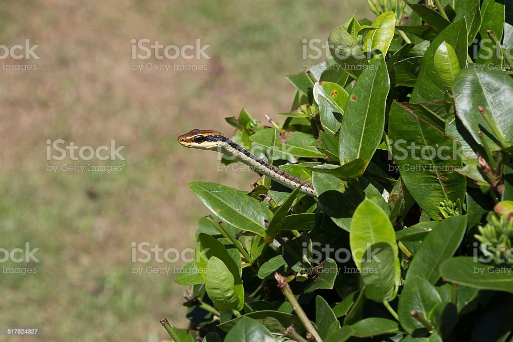 Copperhead rat snake out of bush stock photo
