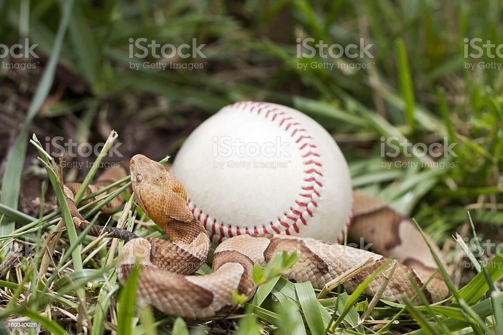 Copperhead Snake Around Baseball royalty-free stock photo