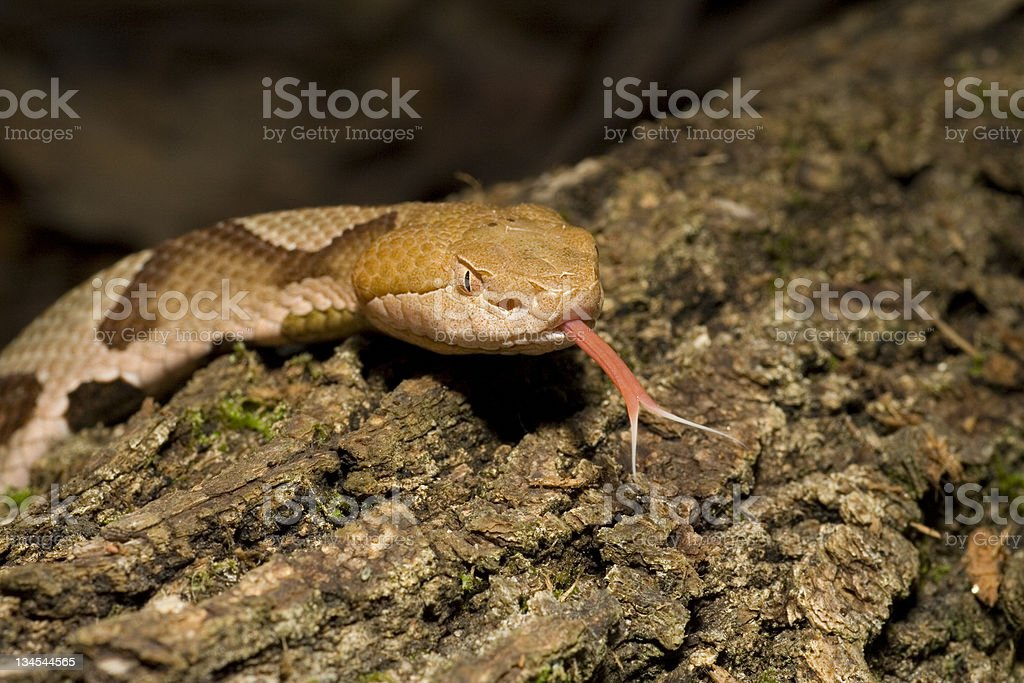 Copperhead Snake Flicking Tongue stock photo