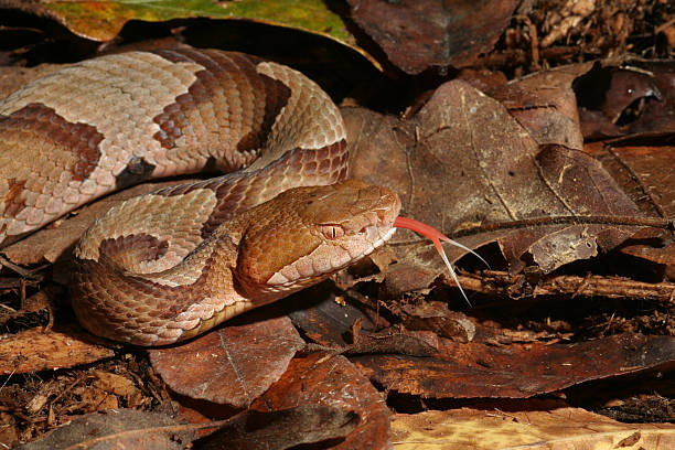 Copperhead Snake Flicking Tongue stock photo