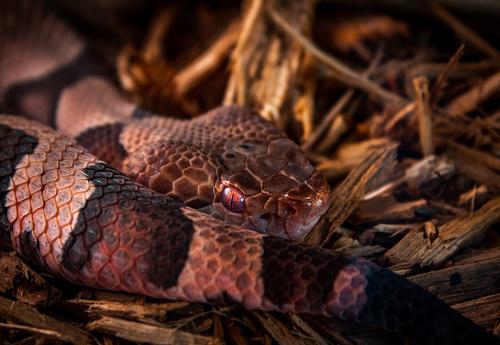 Copperhead snake lying in wait