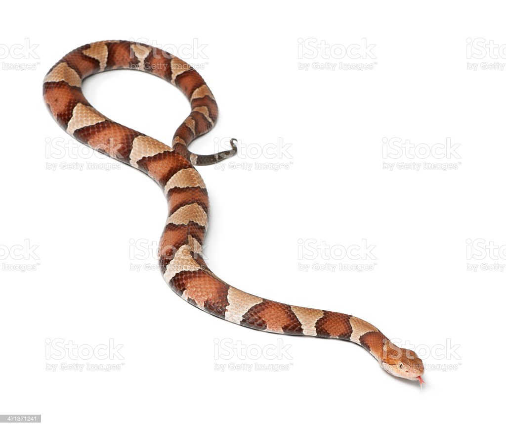 Copperhead snake or highland moccasin - Agkistrodon contortrix, poisonous stock photo