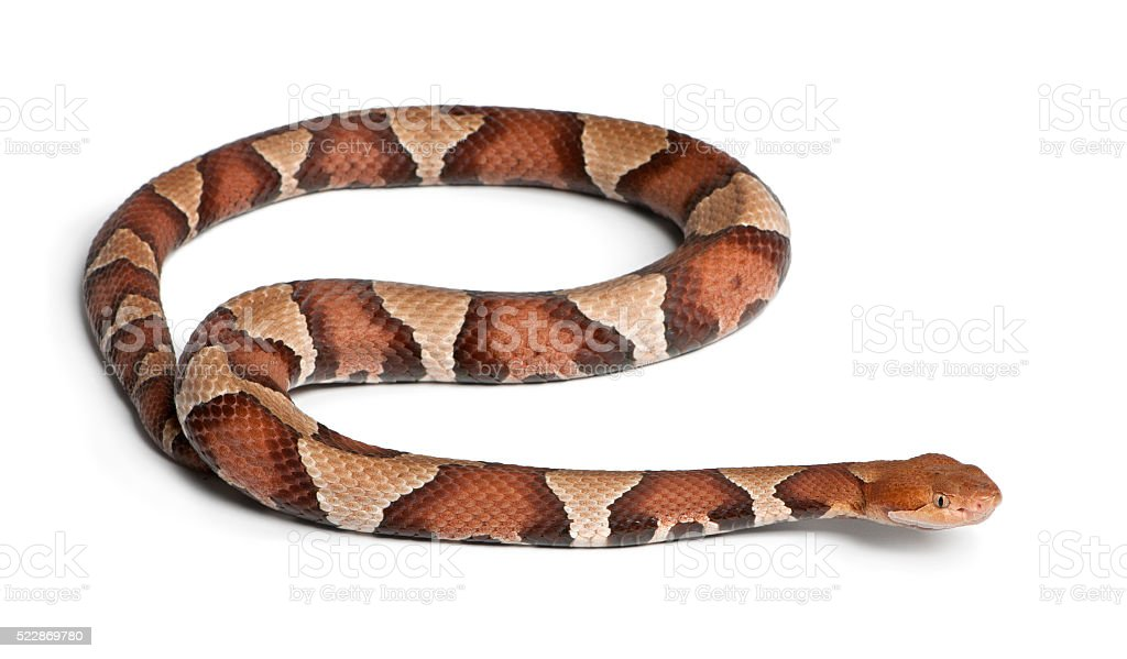 Copperhead snake or highland moccasin poisonous, white background stock photo