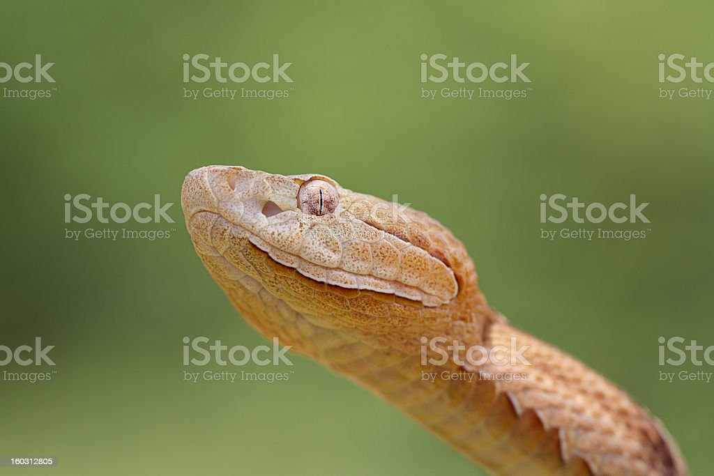 Copperhead Snake royalty-free stock photo