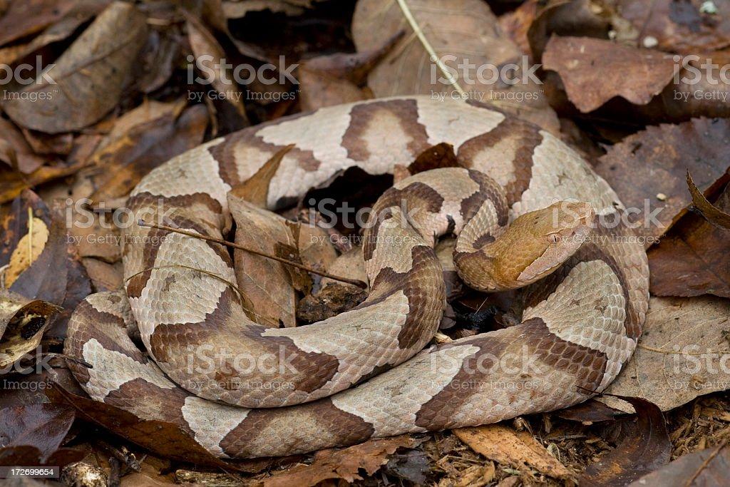 Copperhead Snake royalty-free stock photo