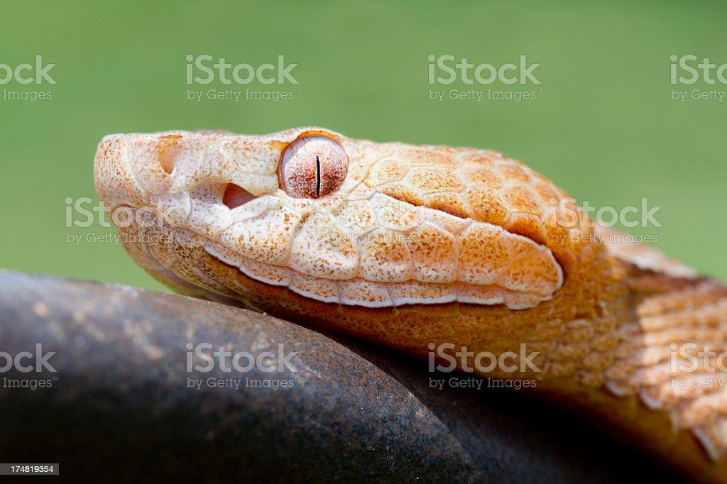 Copperhead Snake - Profile royalty-free stock photo