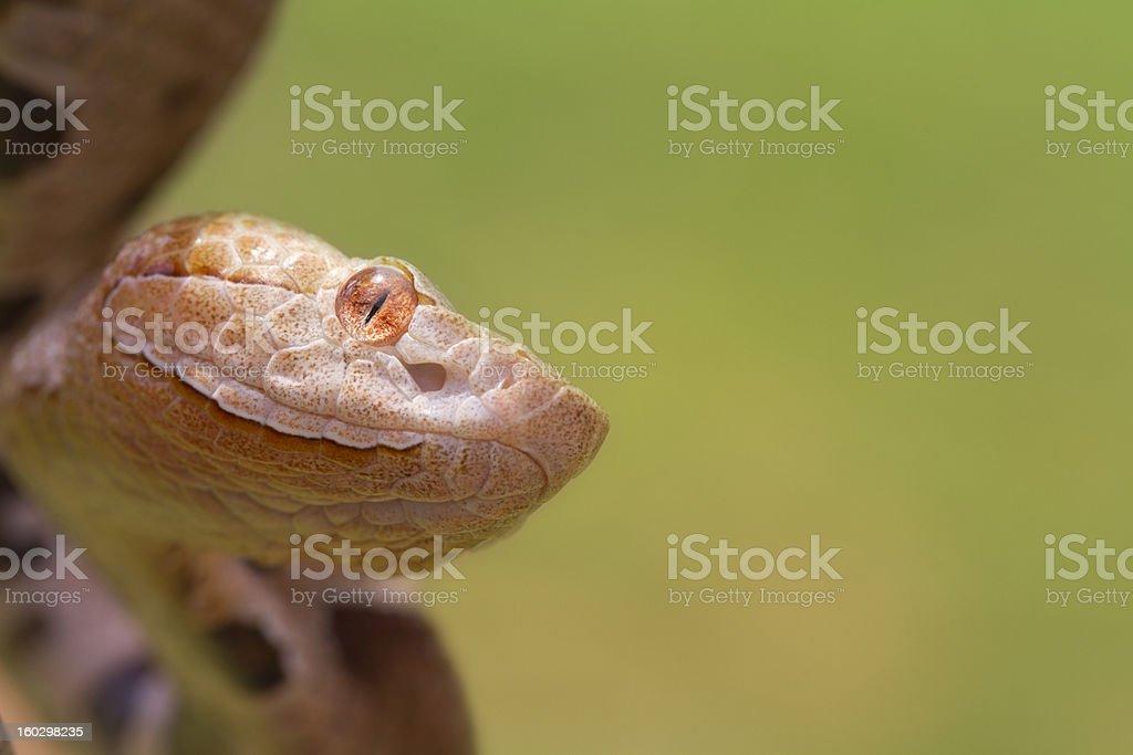 Copperhead Snake Ready to Strike royalty-free stock photo