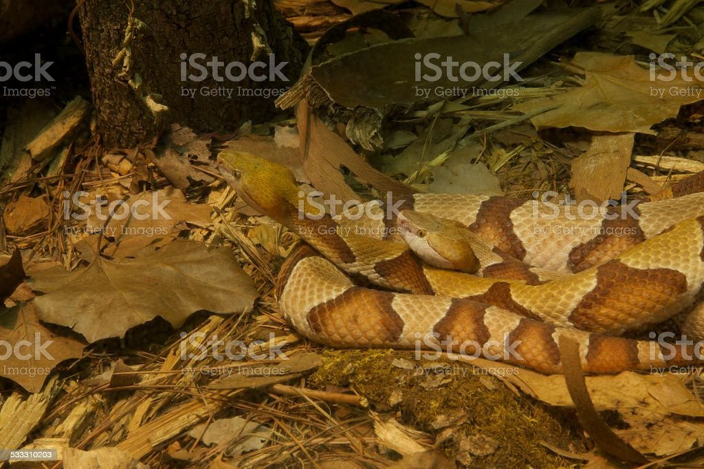 Copperheads, Southern stock photo