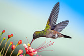 A Copper-rumped hummingbird feeding on the Pride of Barbados flower against a faded blue background.  It is a juvenile hummingbird.