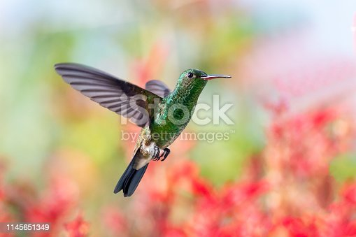 A Copper-rumped Hummingbird hovering with a colorful tropical garden in the background.