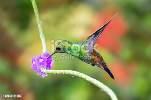A Copper-rumped hummingbird feeding on the purple Vervain flower in a tropical garden with lush foliage.