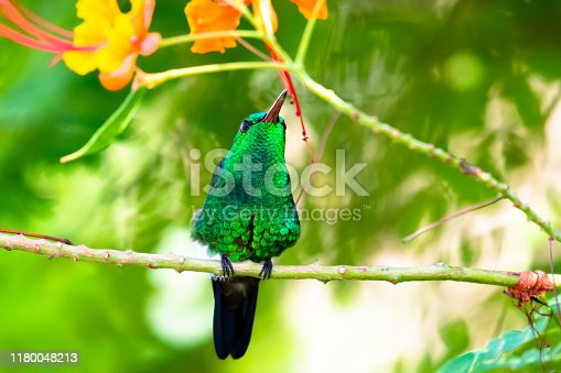 A Copper-rumped hummingbird perches in a Pride of Barbados tree in a tropical garden on a bright sunny day.
