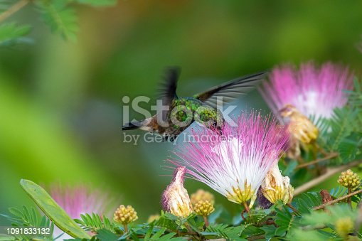 Copper-rumped Hummingbird feeding on the Powderpuff flowers (Calliandra flowers).